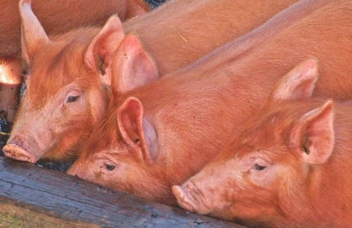 The swine flu epidemic in China and Eastern Asia has led to a major cull of the pig herd and has reduced the demand for feed materials in this region